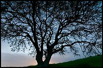 Oak tree silhouetted at sunset. San Jose, California, USA