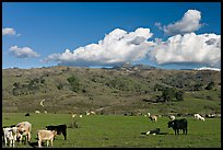 Cows in pasture below Mount Hamilton Range. San Jose, California, USA