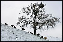 Cows and tree with mistletoe on snowy hill, Mount Hamilton Range foothills. San Jose, California, USA (color)