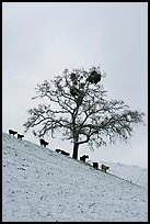Cows and oak tree on snow-covered slope, Mount Hamilton Range foothills. San Jose, California, USA