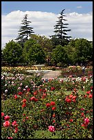 Roses and fountain, Municipal Rose Garden. San Jose, California, USA (color)