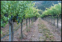 Vineyard, Gilroy. California, USA (color)