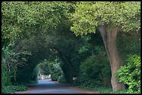 Tunnel of trees on residential street. Menlo Park,  California, USA ( color)