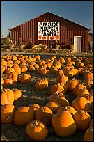 Pumpkins and red barn. California, USA