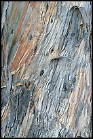 Bark of ucalyptus tree trunk. Burlingame,  California, USA ( color)