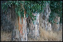 Trunks and leaves of Eucalyptus trees. Burlingame,  California, USA ( color)