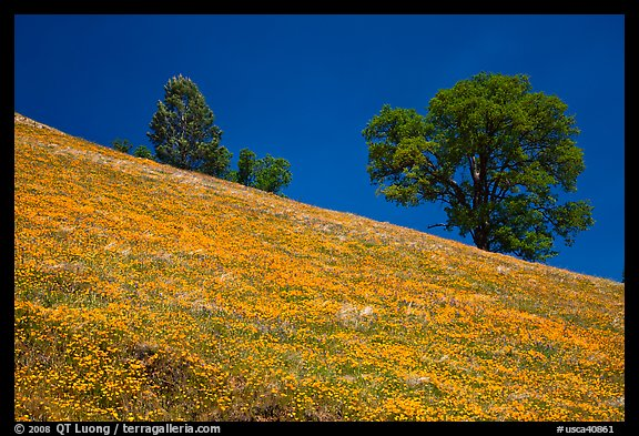 Poppies and Oak trees on hillside. El Portal, California, USA (color)