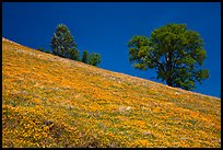 Poppies and Oak trees on hillside. El Portal, California, USA