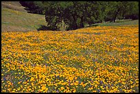Slope with spring poppies. El Portal, California, USA ( color)