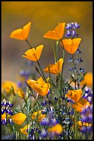 Close-up of California poppies and lupines. El Portal, California, USA ( color)