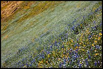 Slope covered with filed of spring wildflowers. El Portal, California, USA ( color)
