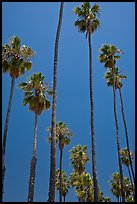 Tall palm tres against blue sky. Santa Barbara, California, USA (color)