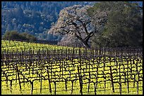 Vineyard and oak tree in spring. Napa Valley, California, USA (color)