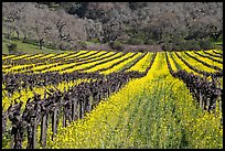 Vineyard in spring with yellow mustard flowers. Napa Valley, California, USA (color)