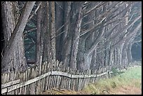 Wooden fence and trees in fog. California, USA (color)