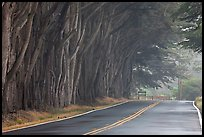 Tree tunnel in fog. California, USA ( color)