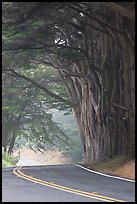 Highway curve, trees an fog. California, USA ( color)