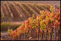 Wine grape vines in vineyard in fall. Napa Valley, California, USA (color)