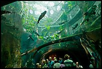 Tourists gaze upwards at flooded Amazon forest and huge catfish, California Academy of Sciences. San Francisco, California, USA<p>terragalleria.com is not affiliated with the California Academy of Sciences</p>