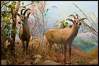 Diorama, African Hall, Kimball Natural History Museum, California Academy of Sciences. San Francisco, California, USA<p>terragalleria.com is not affiliated with the California Academy of Sciences</p>
