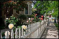 White picket fence and roses in Preservation Park. Oakland, California, USA ( color)