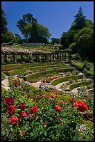 Berkeley Rose Garden. Berkeley, California, USA (color)