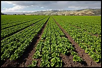 Long rows of lettuce. Watsonville, California, USA (color)