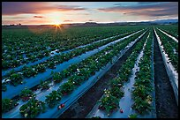 Raws of strawberries and sunset. Watsonville, California, USA (color)