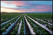 Strawberry field. Watsonville, California, USA (color)