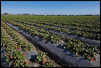 Cultivation of strawberries using plasticulture. Watsonville, California, USA (color)