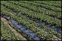 Rows of strawberries close-up. Watsonville, California, USA (color)