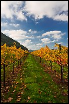 Rows of wine grapes with golden leaves in fall. Napa Valley, California, USA (color)