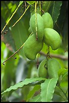 Mango fruit on tree, Gilroy Gardens. California, USA ( color)