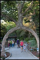Archway formed by a tree, Gilroy Gardens. California, USA ( color)