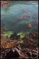 Kelp from above. Point Lobos State Preserve, California, USA (color)