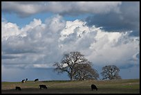 Cows, oak trees, and clouds. California, USA