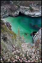 Flowers and cove with green water. Point Lobos State Preserve, California, USA