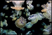 Mediterranean Jellies, Monterey Bay Aquarium. Monterey, California, USA ( color)