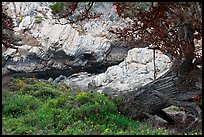 Monterey Cypress, wildflowers, and cove. Point Lobos State Preserve, California, USA ( color)