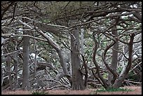 Monterey cypress. Point Lobos State Preserve, California, USA ( color)