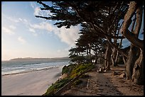 Walkway and cypress on edge of Carmel Beach. Carmel-by-the-Sea, California, USA ( color)