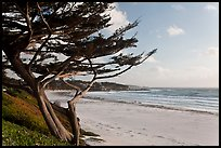 Cypress and Carmel Beach in winter. Carmel-by-the-Sea, California, USA ( color)