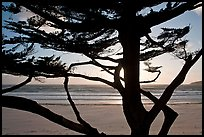 Cypress and ocean, late afternoon. Carmel-by-the-Sea, California, USA ( color)