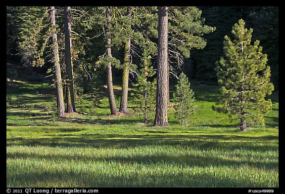 Pines and meadow near Grant Grove, Giant Sequoia National Monument near Kings Canyon National Park. California, USA