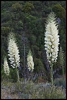 Yucca in bloom near Yucca Point. Giant Sequoia National Monument, Sequoia National Forest, California, USA ( color)