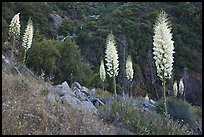 Blooming Yucca near Yucca Point. Giant Sequoia National Monument, Sequoia National Forest, California, USA