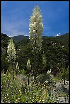 Yucca in bloom in Kings Canyon. Giant Sequoia National Monument, Sequoia National Forest, California, USA