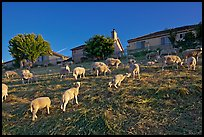 Sheep grazing below houses, Silver Creek. San Jose, California, USA ( color)