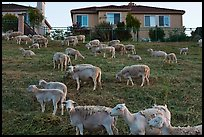 Sheep and suburban hones, Silver Creek. San Jose, California, USA ( color)
