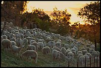 Sheep at sunset, Silver Creek. San Jose, California, USA ( color)